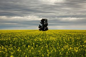 Master of the Canola by Sun-Seeker