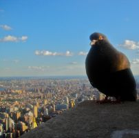 New York City Pigeon by ISinNJ