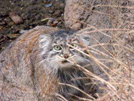 Pallas Cat Lunch by Teh-Pandacoon