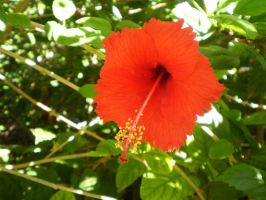 Red rounded Hibiscus by Twister4evaSTOCK