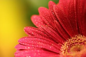 Drops of water on a blushing red by JetteReitsma
