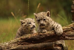 snow leopard cubs by Quiet-bliss