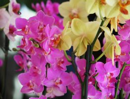 orchids in floriade by ingeline-art
