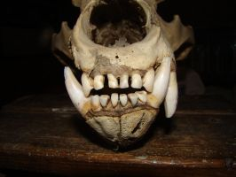 Bear's skull 8 by Panopticon-Stock
