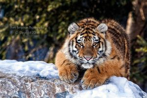 Kouma The Tigress by Sagittor