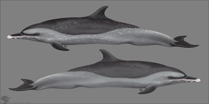 Pantropical Spotted Dolphin by Nioell
