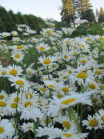 The Garden: Daisies 3 by en-visioned