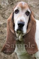 Basset Rescue 9 by BlackDogBarnyard