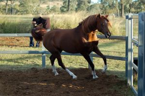 RA leg up trot canter by Chunga-Stock
