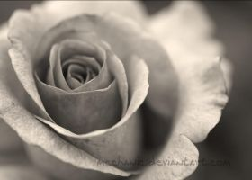 antique rose by mechanic