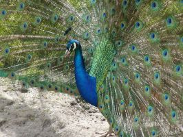 Peacock at Menkemaborg 2 by jxp3397