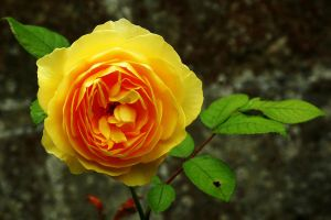 Bishop's Rose by EarthHart