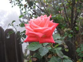 Rose 05 by tooterfish-popkin