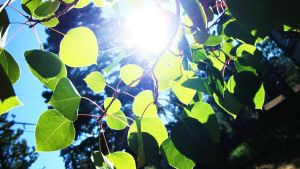Sun Through the Aspen Leaves by snowyowl199513