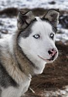 Husky by woundgiver