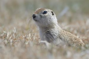 Ground Squirrel-Eye to Eye by JestePhotography