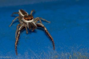 Jumping spider with giant fangs? by CyclicalCore