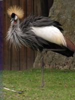 Grey Crowned-Crane 06 by animalphotos