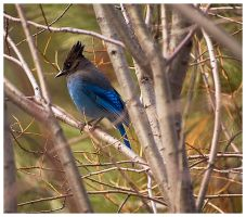 Steller's Jay by madrush08