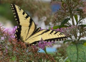 Butterfly Bush 2 by Singing-Wolf-12