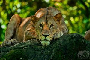King of the Jungle by Izam01