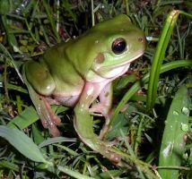 Green Tree Frog In The Grass by Artist-KGH