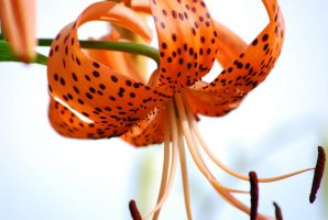 Tiger Lily Macro 3 by EyesofaDiamond