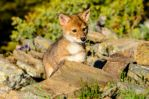 More coyote pups... by White-Voodoo