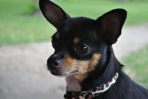 Chihuahua Innocence by justinem1989