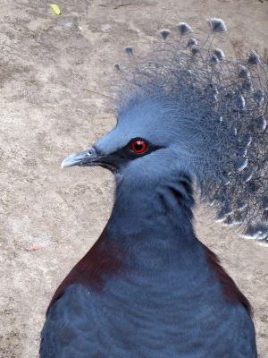 Victoria Crowned Pigeon - 2 by marinaneirastock