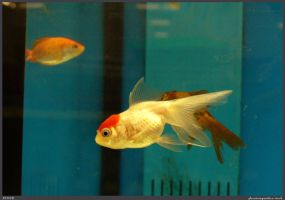 Fish Stock 0028 by phantompanther-stock