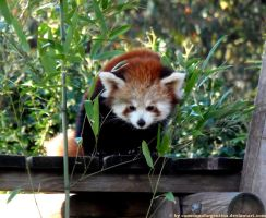 Red panda VI by Cansounofargentina