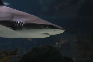 Shark In Profile by BTrerice