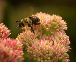 American Bumble Bee In Flight by toshema