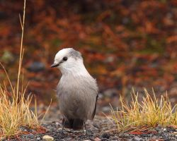 Grey Jay by Iamidaho