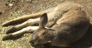 What Do Kangaroos Dream Of? by canadiankazz