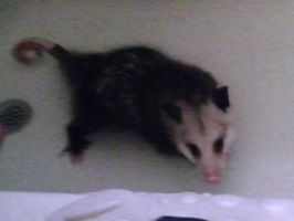 Possum PeteII by MadShroomer