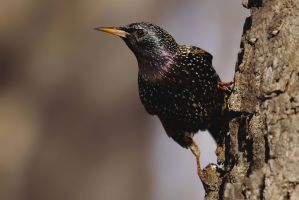 Starling by CyprianMielczarek
