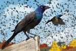 Common Grackle by Gingastar18