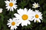 Daisies and more daisies by snoogaloo