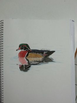 Wood Duck by drtupps
