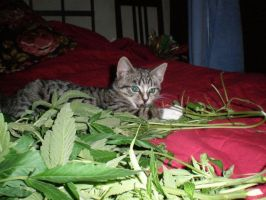 My cat likes marijuana by plantlover