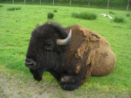 Bison 1 by Bladewing-Stock