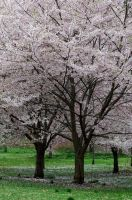 Cherry Blossoms 2 by FairieGoodMother