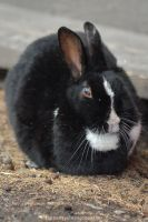 Canmore Bunny by drewhoshkiw