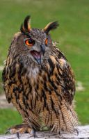 eagle owl_I by deoroller