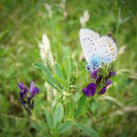 common blue V by Croiea