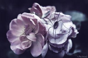 Rose and spider. by Phototubby