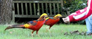 The Return Of The Chinese Pheasants In Kew gardens by aegiandyad