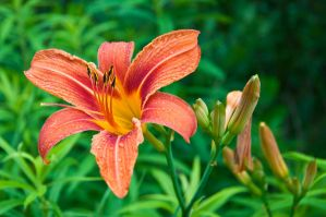 Orange Lily by avyva